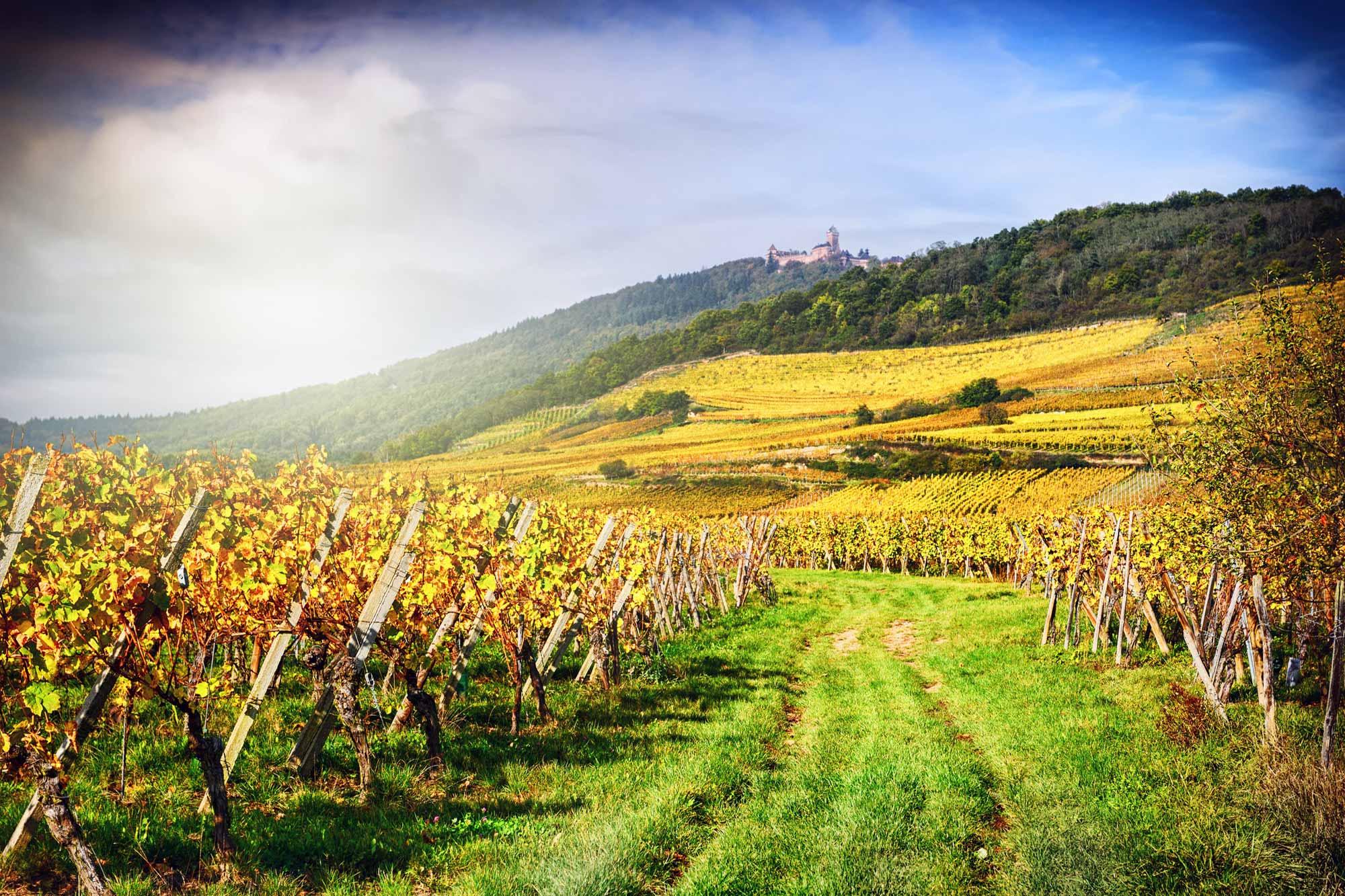 Weinanbaugebiet im Elsass