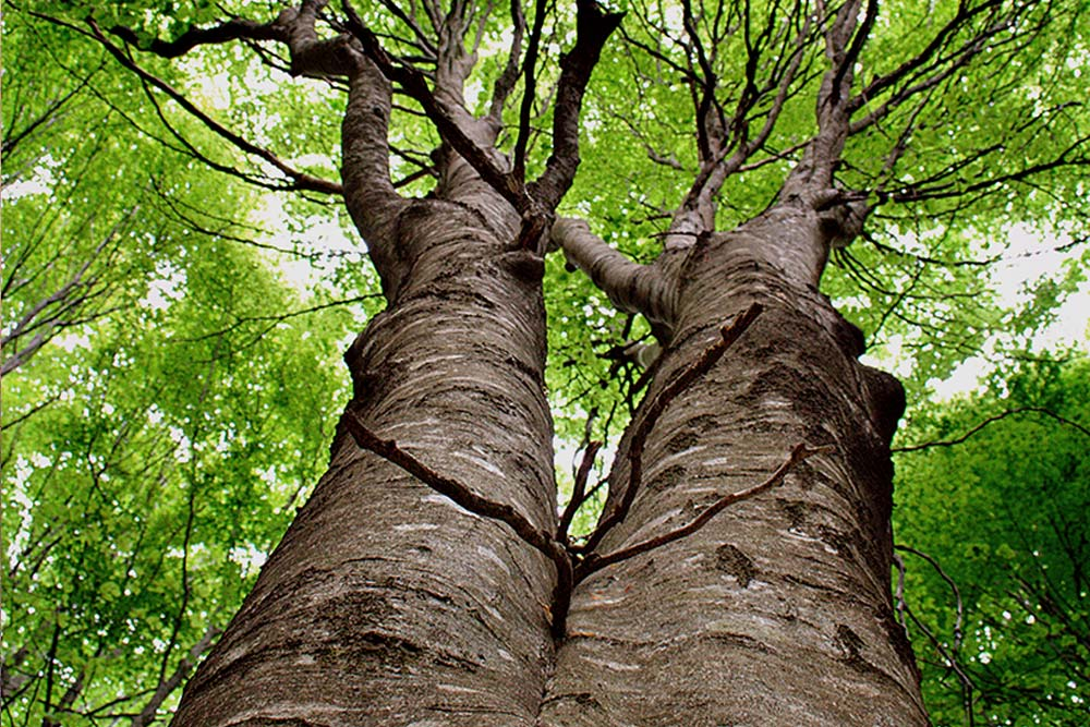 Blick von unten auf Zwillingsbäume bei Bad Herrenalb